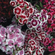 Sweet William Auricula eyed mix - Approx 900 seeds